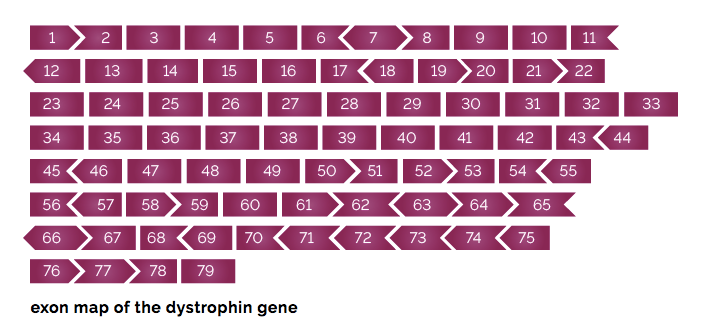 Exon map of the dystrophin gene
