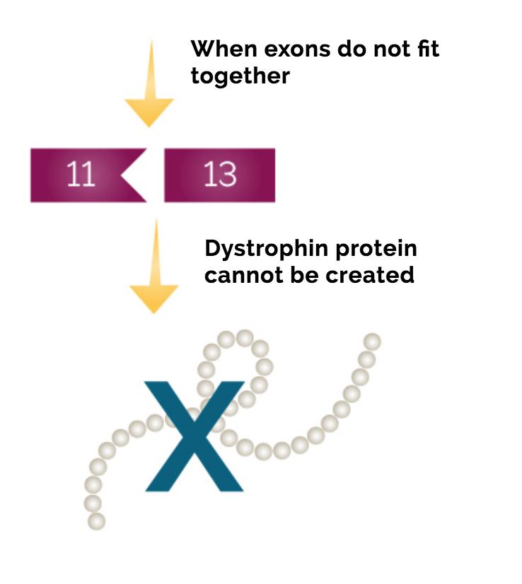 Duchenne Muscular Dystrophy Genetics Duchenne